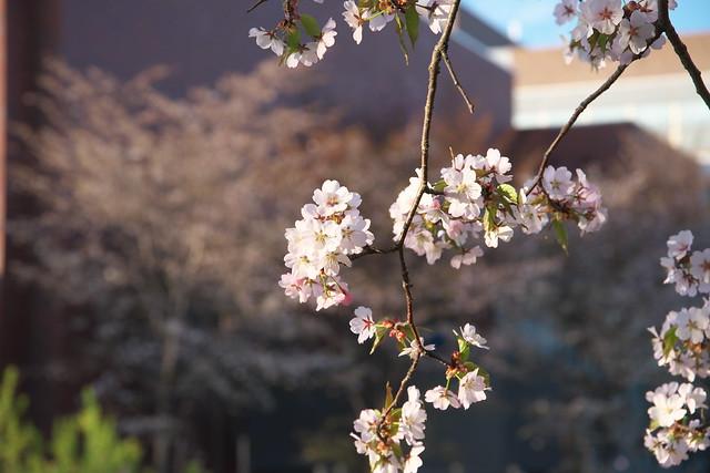 20170505岩見沢市の桜_09