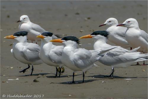 Royal Terns1