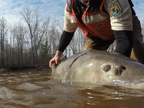 Lake Sturgeon | by U.S. Fish and Wildlife Service - Midwest Region