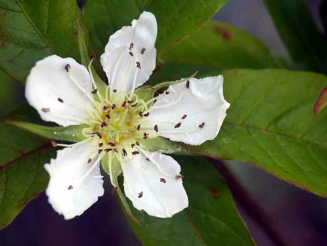 Garden Macro - Medlar Flower