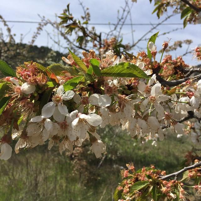 flores manzano