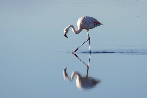 A flamingo in Laguna Chaxa | by The Globetrotting photographer