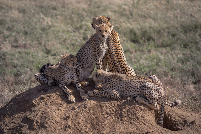The Cheetah Family