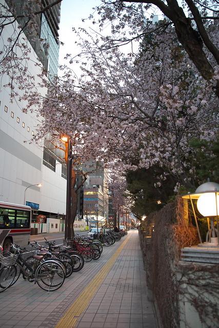 20170503札幌市中央区付近の桜_20