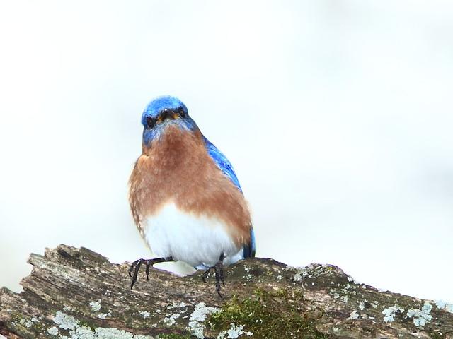 Eastern Bluebird male 2-20170503