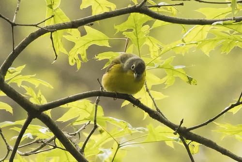 Forest Park: Nashville Warbler at Dusk