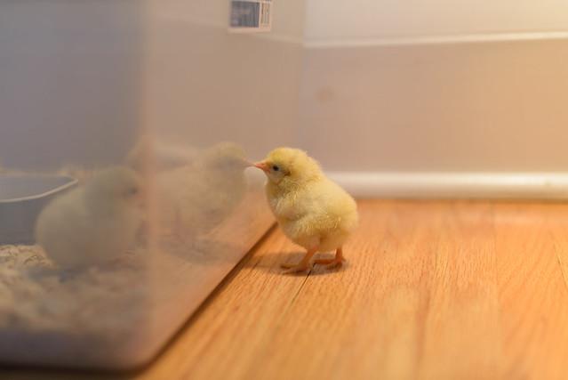 baby chicks-9