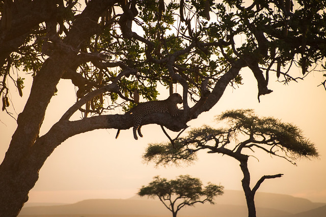 The Sunset Leopard