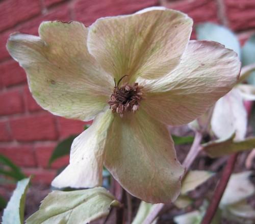 helleborus_bloom