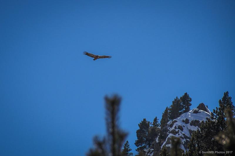 Buitre leonado sobrevolando Núria en invierno