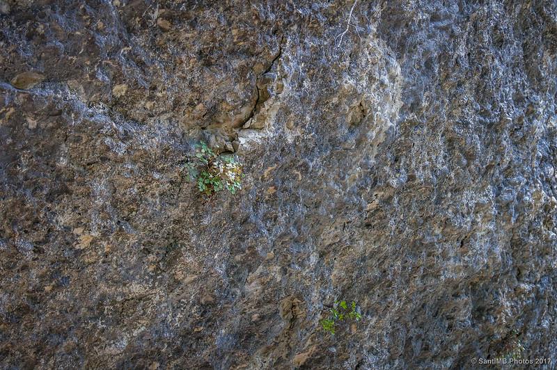 Sarcocapnos enneaphylla