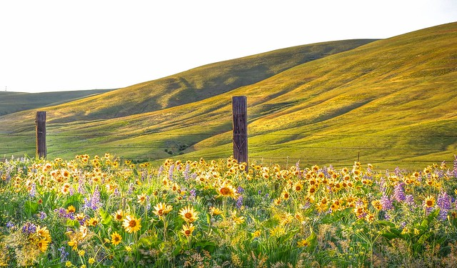 Dalles Mountain - flowers and fence