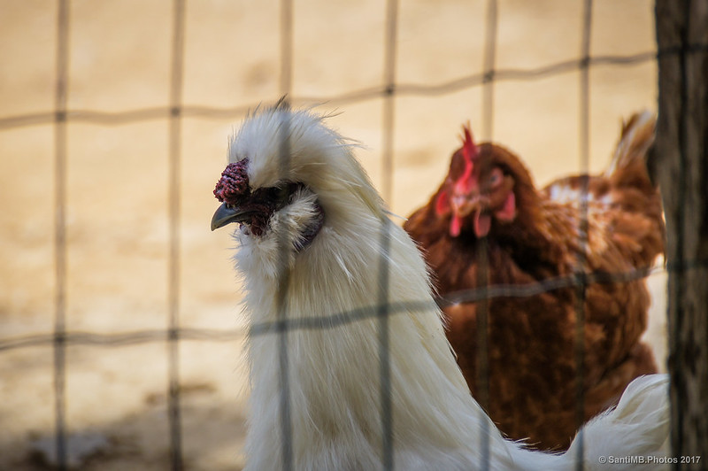 Macho de gallina sedosa del Japón