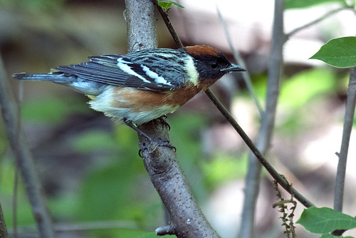 Forest Park: Bay-breasted Warbler 2
