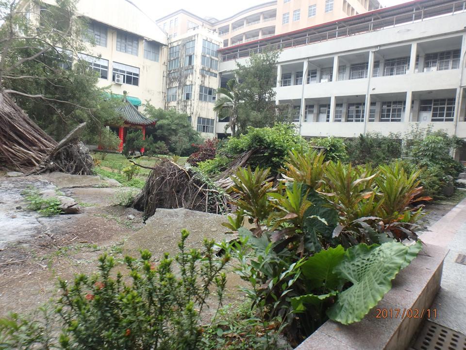 去年侵台的颱風將永達校園內的巨木連根拔起。但遲至今年二月,董事會仍不願編列經費,進行清理。(圖片來源:賴福林提供)