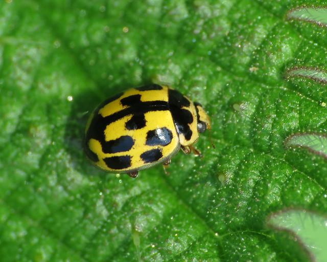 14-spot Ladybird Propylea quattuordecimpunctata