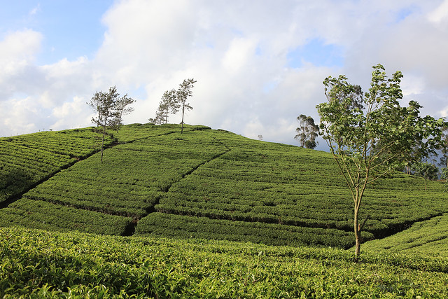 PW-Ceylon-Tea Country5