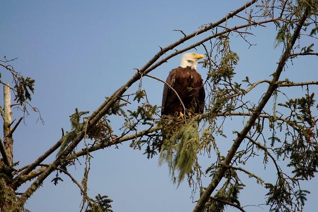 Sam, the American (Bald) Eagle