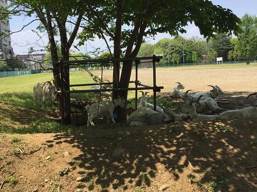 昭和記念公園へ向かう道でヤギに遭遇