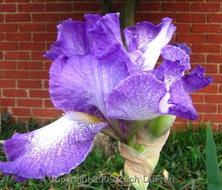 royal_purple_iris