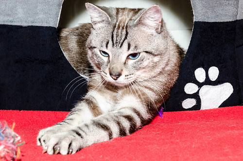 Tango, gato Siamés Tabby de colita corta esterilizado muy guapo, nacido en Enero´16, en adopción. Valencia. ADOPTADO. 34609497925_0c0ac01468