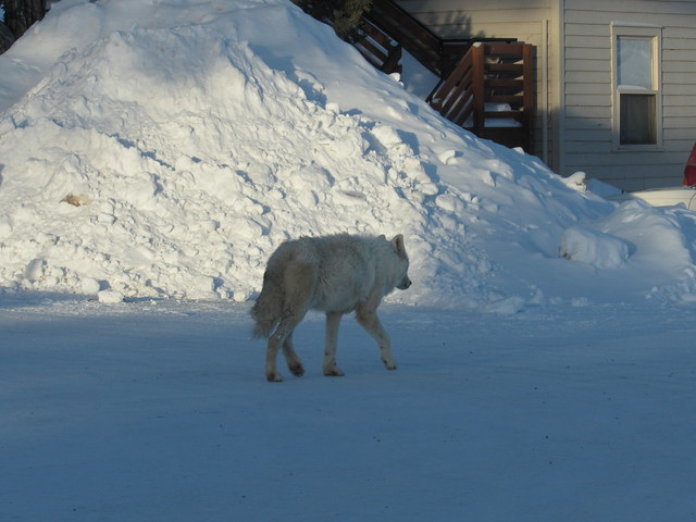 a white wolf walking in the snow by a building