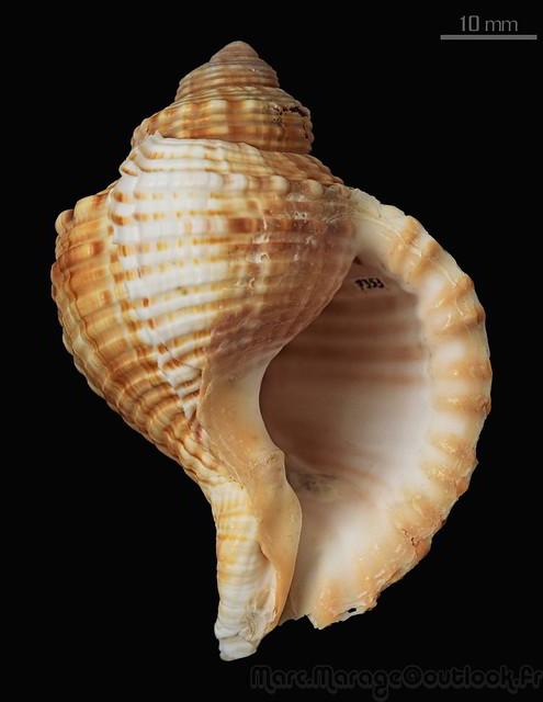 Cymatiidae Linatella caudata - (Gmelin, 1791) 34719015675_c6b0f3cafb_z