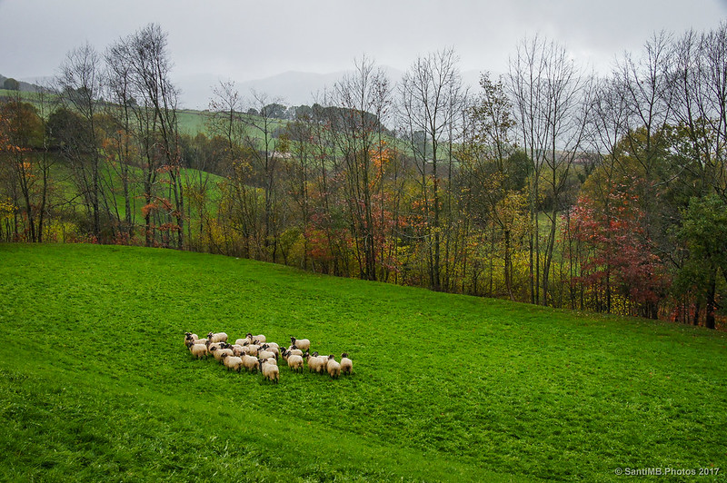 Ovejas pastando bajo la lluvia