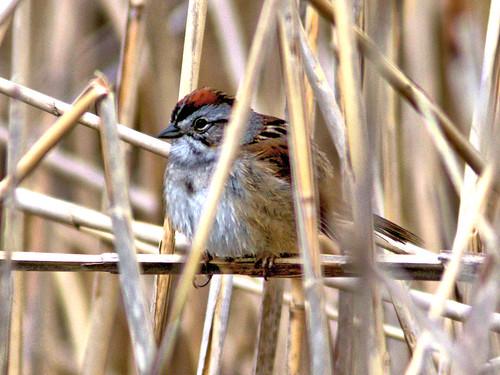 Swamp Sparrow 20170502