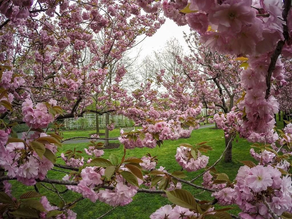 Brooklyn Botanic Garden cherry blossoms 2017 close up