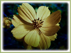 Beautiful flower of Coreopsis (Calliopsis, Tickseed, Pot of Gold, Yellow Cosmos) with jagged tips, 12 May 2017