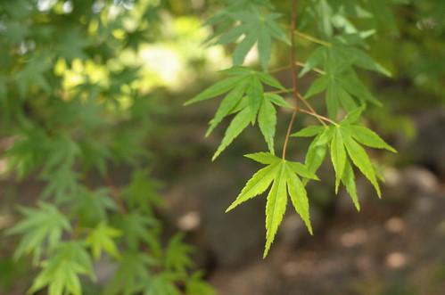 green maple Kyu-Furukawa Teien 14