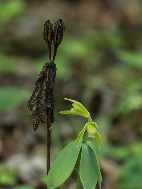 Small Whorled Pogonia orchid with seed capsules