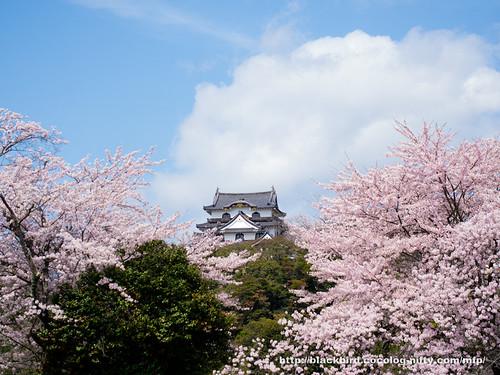 Cherry blossoms #01