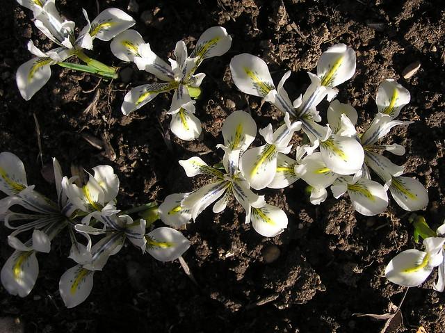 Iris reticulata 'Eyecatcher'