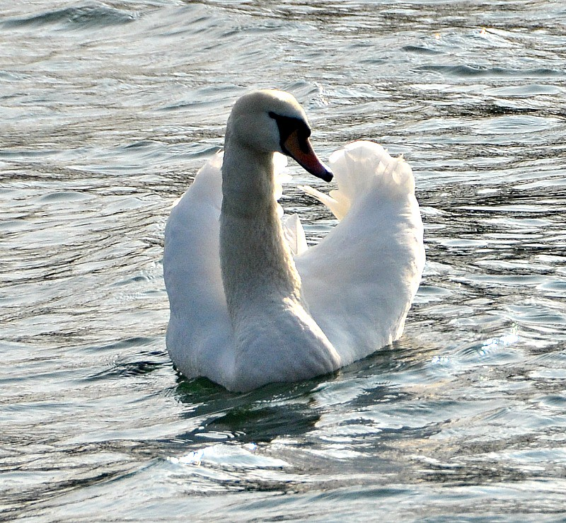 Swan on the River Aar