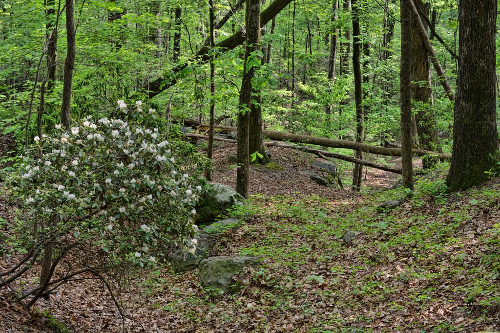 Mountain laurels
