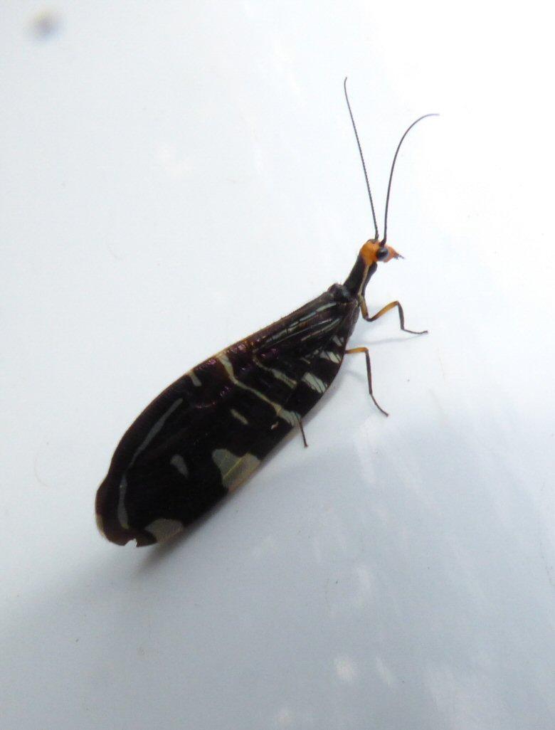 Pied Lacewing.Porismus strigatus jpg