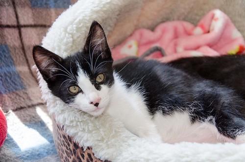 Cloud, gatito blanquinegro megadulce y guapo esterilizado, nacido en Enero´17, en adopción. Valencia. ADOPTADO. 34492028065_3759f68747