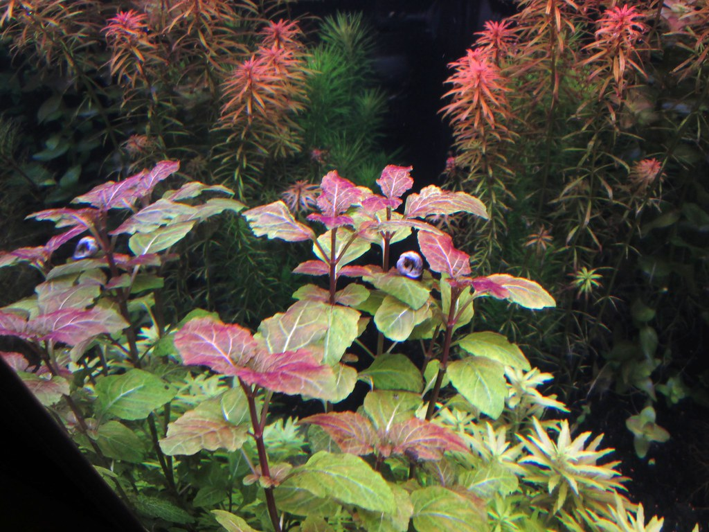how to grow hyptis lorentziana in a fish tank