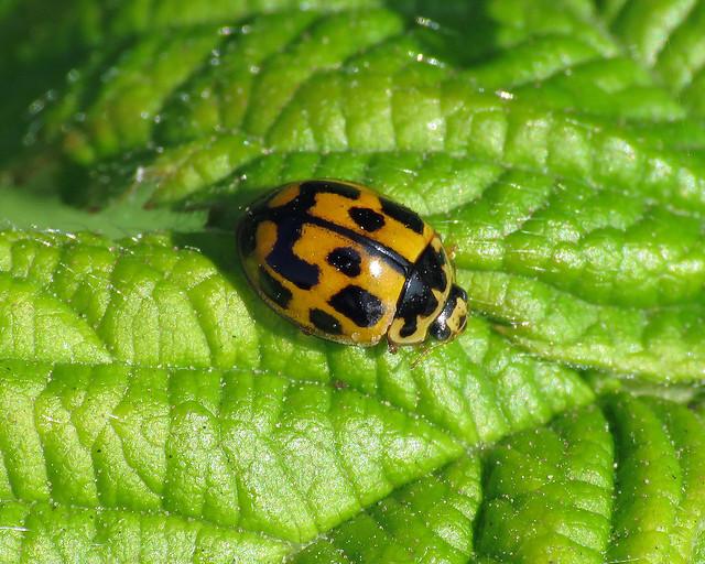14 Spot ladybird - Propylea quattuordecimpunctata