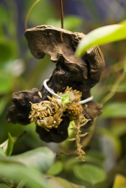 Myrmecodia sp. mount