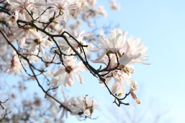 rochester ny magnolia