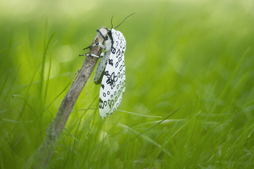 giant leopard moth | by childerhouse