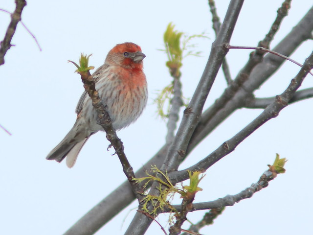 House Finch 01-20170503