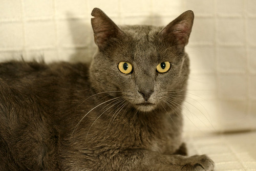 Gris, gato Cruce con Cartujo tímido y tranquilo positivo a inmunodeficiencia nacido en Agosto´15, en ADOPCIÓN ESPECIAL. Valencia. 33870241604_e2f161cd3f
