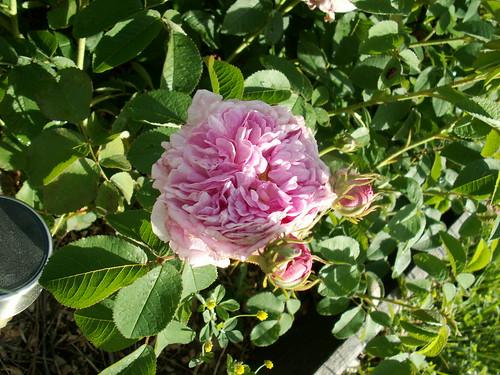rosier 'Jacques Cartier' 33878809593_12b39401d4