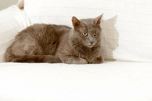 Gris, gato Cruce con Cartujo tímido y tranquilo positivo a inmunodeficiencia nacido en Agosto´15, en ADOPCIÓN ESPECIAL. Valencia. 33902965173_315204f2e8