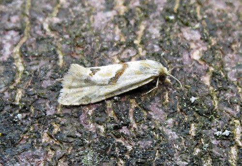 Aethes smeathmanniana Tophill Low NR, East Yorkshire May 2017