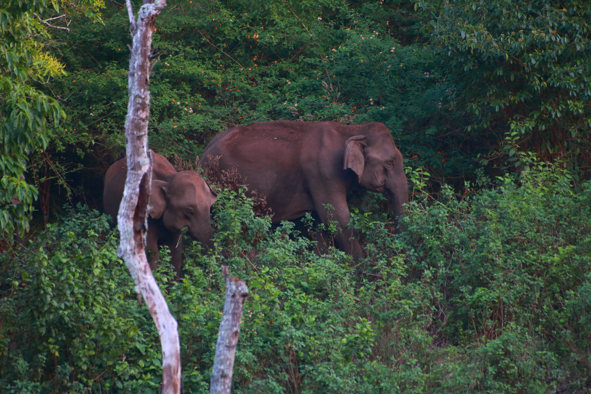 Elephants coming out of the woods